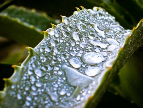 Surface tension demonstrated by raindrops on an aloe leaf